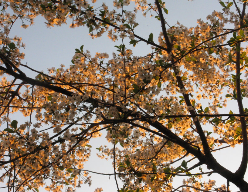 A view looking upward through a canopy of cherry blossom, with a blue sky behind.