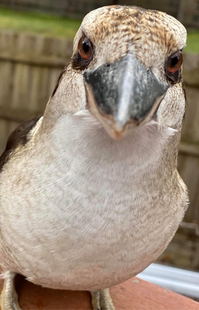 Kookaburra's head close-up showing beak and eyes