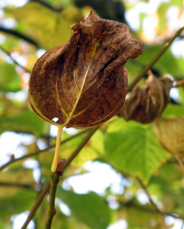 Brown leaf on tree