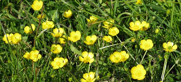 Buttercups in bloon
