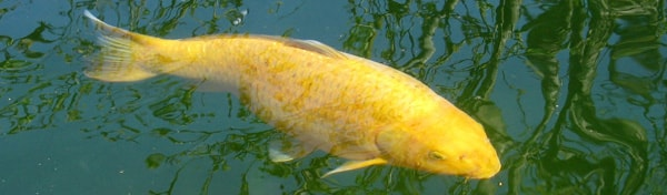 A golden carp seen through the surface of green water.