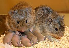 Pair of voles with five young