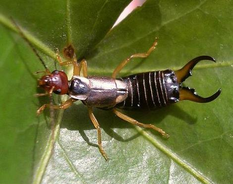 Earwig on leaf